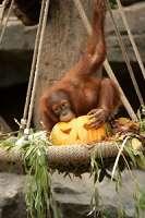 Halloween-Frühstück im Orang-Utan-Haus…