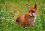 Bundesweite Initiative fordert Schonzeit für Füchse