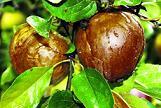 Wieder die Schwarze Sommerfäule: Bio-Äpfel vor Pilzbefall schützen DBU fördert schonende Behandlungsstrategie für ökologischen Obstbau mit rund 70.000 Euro