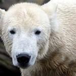 Knut starb an Hirnerkrankung: VIER PFOTEN kritisiert Eisbärenzucht