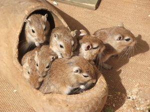 Diabetesmittel wirkt bei Mäusen lebensverlängernd – Geringe Dosis Metformin erhöht Lebenserwartung um rund fünf Prozent