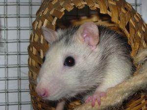 Neurale Stammzellen mit Magnet aus Gehirn geholt – Tests mit Ratten durchgeführt – Eingriff ohne Nebenwirkungen erfolgt