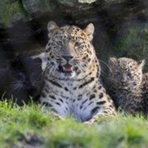 Nachwuchs äußerst seltener Art! Amur Leoparden, weltweit leben nur noch 49 Individuen in freier Wildbahn!