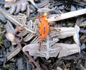 Ameisen transportieren Samen