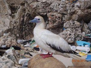 2050 haben nahezu alle Seevögel Plastik im Magen – Artenvielfalt massiv bedroht – Sorge um Pinguine und große Albatrosse