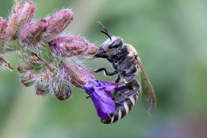 Seltene Wildbiene auf NABU-Flächen entdeckt