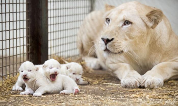 Seltener Nachwuchs gleich im Trio: Weiße Löwenbabys im Serengeti-Park geboren