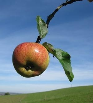Verzehr von Äpfeln schützt präventiv vor Krebs – Proteinstruktur und Interaktion der beteiligten Polyphenole ermittelt