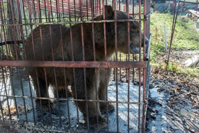Letzte serbische Zirkusbären konfisziert – VIER PFOTEN bietet neue Heimat an