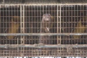 Illegale Nerzfarm in Schleswig-Holstein geschlossen: PETA erneuert Forderung nach bundesweitem Pelzfarmverbot