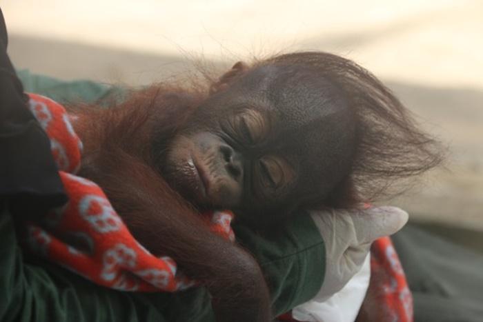 Neues VIER PFOTEN Hilfsprojekt für notleidende Orang-Utans auf Borneo – VIER PFOTEN bringt erstes verwaistes Affen-Baby in Orang-Utan-Waldschule